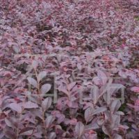供应红桎木 园林苗木 绿化苗木