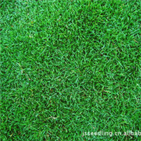 绿化草坪  马尼拉 百慕达  高羊茅 白三叶 果岭草 马蹄茎