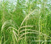 供应水生植物 ,芦苇,卡开芦、爬苇、日本苇、丝毛芦、细叶芦苇