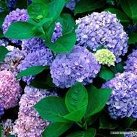 美丽的八仙花 又名绣球、斗球、草绣球、紫绣球、紫阳花、八仙花