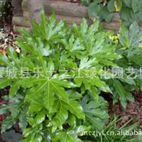 批量供应优质各种灌木、八角金盘  苗木 绿化 苗木
