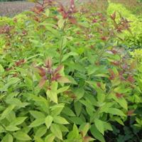 低价金焰绣线菊、红花绣线菊、日本绣线菊 各种品种