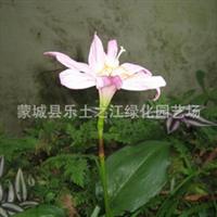 低价韭兰  红花葱兰,韭菜兰,花韭,红菖蒲莲