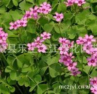 低价红花�m浆草 花花草、夜合梅、大叶酢浆草、三夹莲、铜锤草