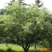 金银木(3--5头)量大从优,量大价格从优