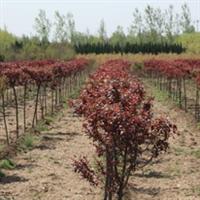出售优质绿化苗木(乔木)---红叶李、桂花、紫薇 陡门苗圃