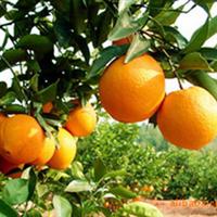 果树 果苗批发/优质纽荷尔脐橙苗/湖南果苗、口味酸甜、果实椭圆