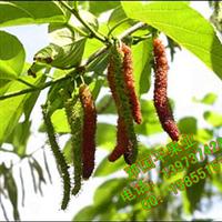 果树苗 果苗 最新优良品种长果桑 果桑之王 滋养补肾之桑葚果