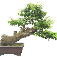 【批发选购】树冠广阔 树形优美榉树【新绿娇嫩、萌芽力强】