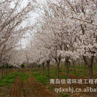 日本樱花大樱花,高干矮干都有,早晚樱等齐全,规格1-13公分