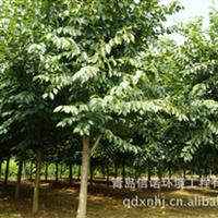 信诺公司批发高干染井吉野樱花大树和嫁接小苗樱花品种全品种纯正
