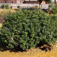 湖南宏盛苗圃供应大量绿化苗木海桐球