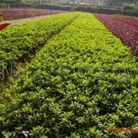湖南宏盛苗圃常年大量供应绿化工程小苗春娟 杜鹃