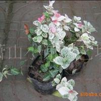 特价批发色块苗木,彩叶植物花叶络石盆栽苗另有香草类等