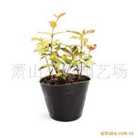 特价批发各绿化色块小苗,彩叶植物/黄金络石,另有香草类