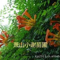 自产自销各类攀爬植物--美国凌霄,别的有 花叶蔓,长春藤