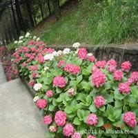 特价批发萧山绿化色块深夜草莓视频app下载---八仙花