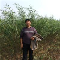 供应优质柳树种苗