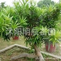 日本罗汉松种子,台湾罗汉松种子 罗汉松种子