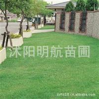 狗牙根草坪净种子护坡草坪狗牙根草籽 狗牙根种子价格
