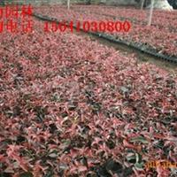 供应密枝红叶李穴盘苗 密枝红叶李小苗 密枝红叶李报价价格