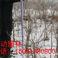 供应三角枫独杆球 三角枫丛生球 茶条槭球 独杆三角枫球价格