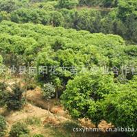 乔木-向阳花木供6公分四季桂花  日香桂 月月桂精品树价格优惠
