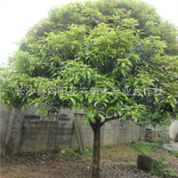 乔木-供湖南优质桂花树 12-13公分八月桂 八月桂花 价格优惠