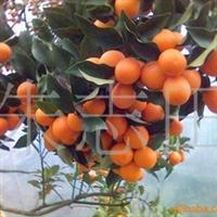 大量供应阳朔 金橘[桔]树