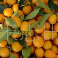 供应阳朔绿色无公害水果 金橘