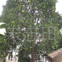 供应柚子树