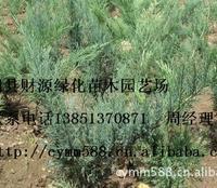 供应:铺地柏.30-50长及绿化苗木.江苏沭阳