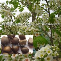 文冠果种子 新采优质果树种子 文冠木 土木瓜 温旦革子