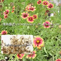 不雅观赏草花种子:天人菊种子,宾菊,翠菊种子等