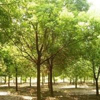 专供江西行道树香樟树乔木