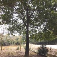 浙江园林绿化乔木香樟树