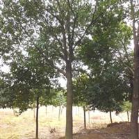 大批园林绿化工程香樟