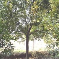 自产自销绝对低价全冠香樟树