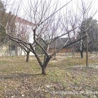 专供红梅树苗木