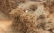 产地批发供应优质枸杞苗木,枸杞种苗