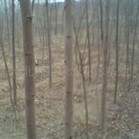 供应绿化苗木2---6cm火炬树,