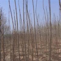 供应苗木2--8cm火炬树