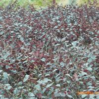 低价供应红桎木小苗;红桎木球