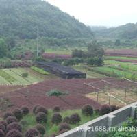 湖南浏阳璇丰苗圃低价处理灌木-红桎木小苗红桎木极品球红桎木