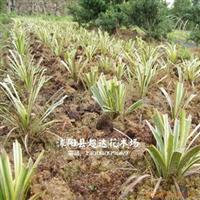 金边麦冬(金边阔叶麦冬)、小叶麦冬、矮麦冬种苗