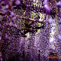 供应攀援植物紫藤 紫藤苗 大小规格紫藤花 苗圃苗 现货 棚架绿化