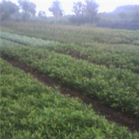 湖南兴盛园苗圃供应各种规格 杜鹃