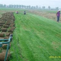 供草坪,园林绿化苗木及各种规格果树