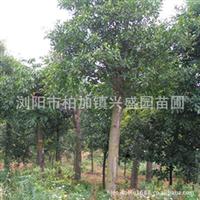 供应行道树工程苗绿化树种 杜英树 杜英 杜英小苗