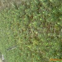 西安市绿嘉白皮松苗木繁育基地直销0.1-7米白皮松